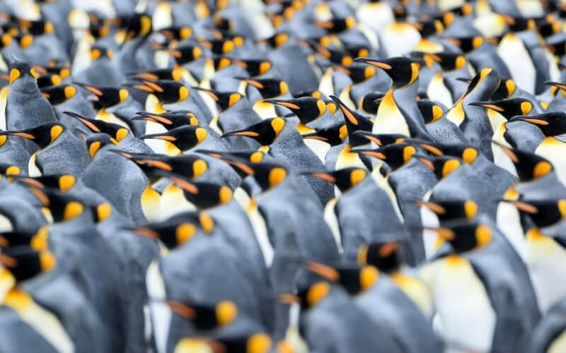 Abbraccio collettivo tra pinguini