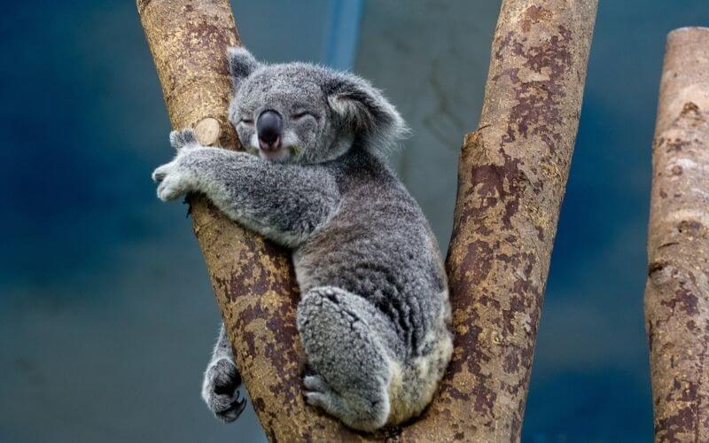 Koala che abbraccia un albero
