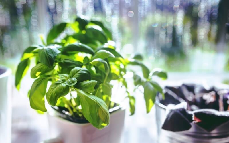 piante che attraggono le cimici