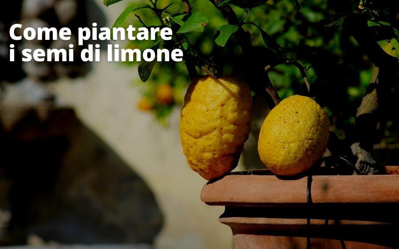 Come piantare i semi di limone