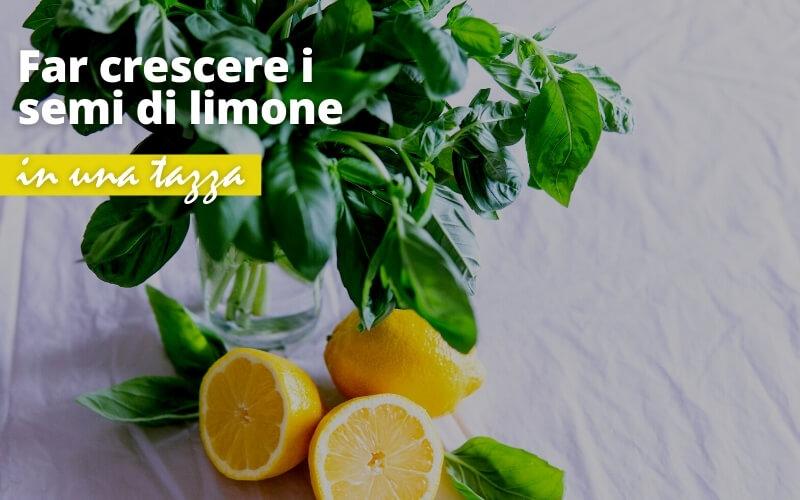 Come far crescere semi di limone partendo da una tazza