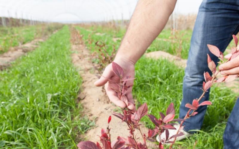 come coltivare mirtilli
