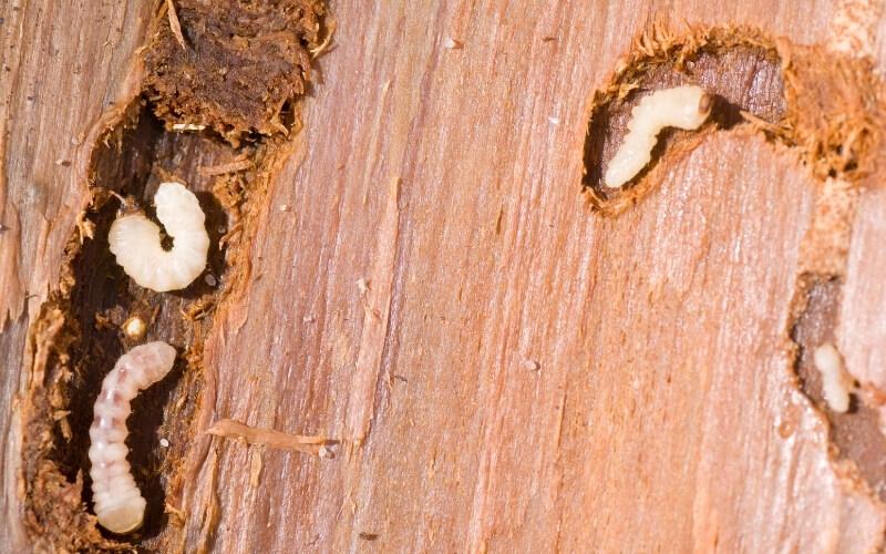 rimedi tarli legno